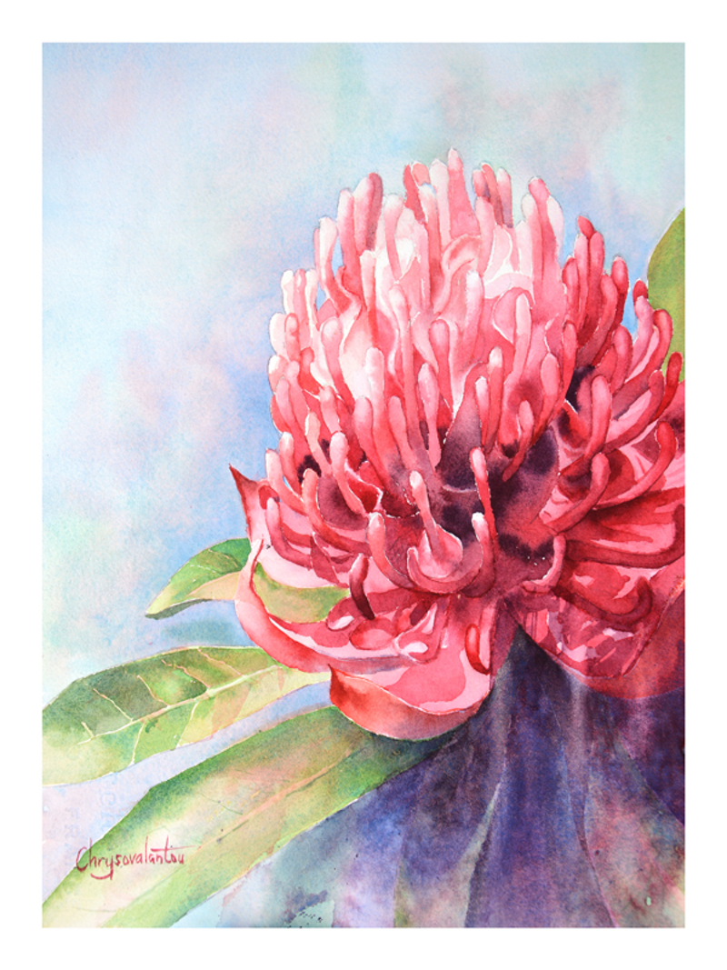 (CreativeWork) Red Waratah by Chrysovalantou Mavroudis. watercolour. Shop online at Bluethumb.