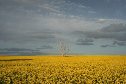 (CreativeWork) Mallee Field of Dreams by Alex Frayne. photograph. Shop online at Bluethumb.
