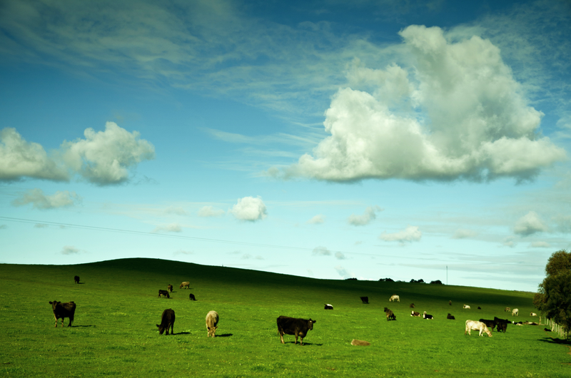 (CreativeWork) Happy Cows by Alex Frayne. photograph. Shop online at Bluethumb.