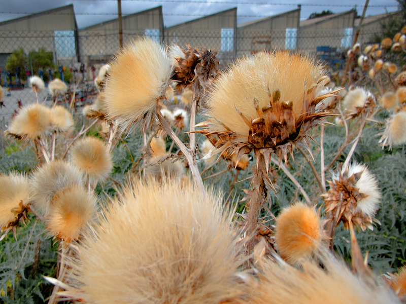 (CreativeWork) Thistle and Factory by Alex Frayne. photograph. Shop online at Bluethumb.