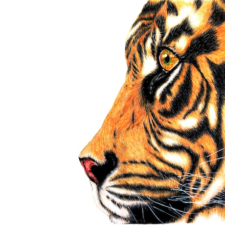 (CreativeWork) Tiger Study in Pastels and Charcoals by Linda Hammond. Drawings. Shop online at Bluethumb.