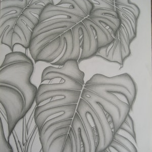 (CreativeWork) Monstera Deliciosa by Vanessa Yi-Kai TSAI. drawing. Shop online at Bluethumb.
