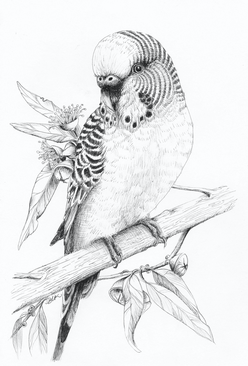 (CreativeWork) Little Budgie by Jess Black. drawing. Shop online at Bluethumb.