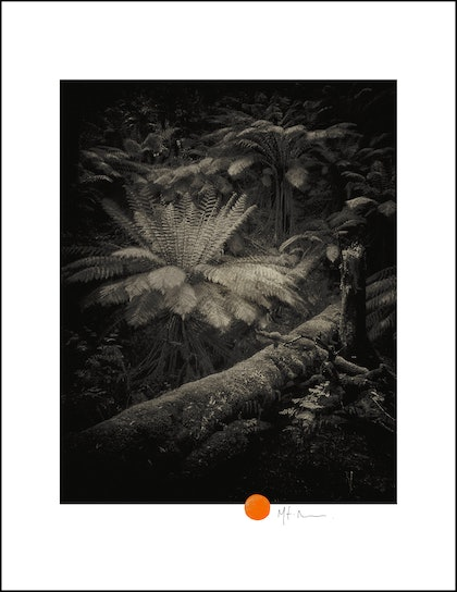 (CreativeWork) Tree ferns by Mat Hughes. photograph. Shop online at Bluethumb.