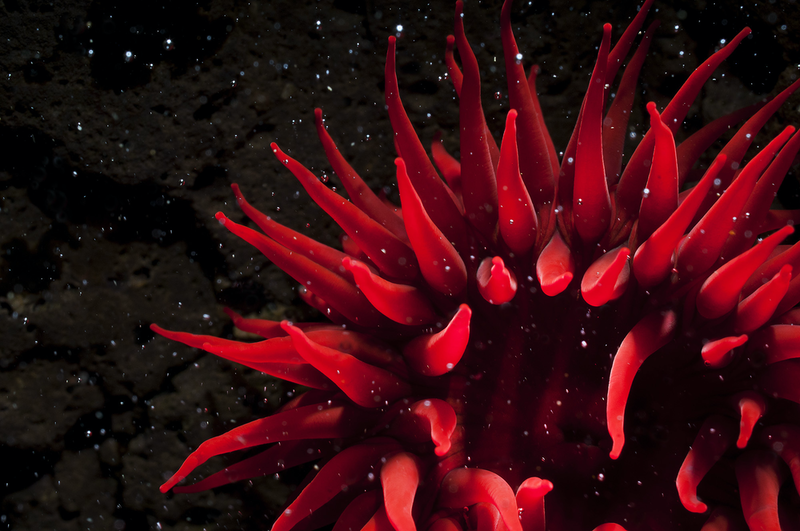 (CreativeWork) Cosmic Anemone Ed. 11 of 100 by Matty Smith. Photograph. Shop online at Bluethumb.