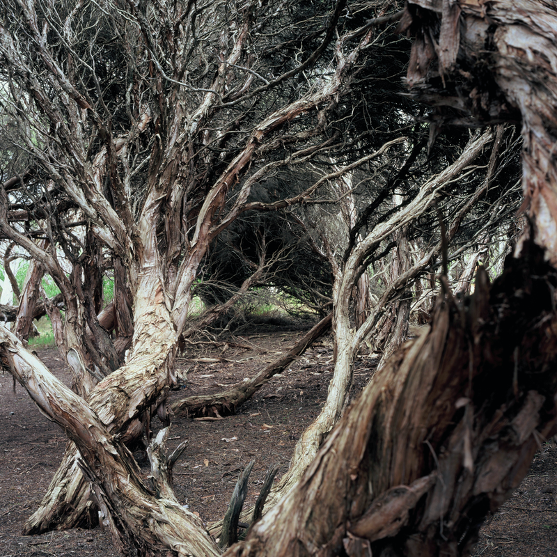 (CreativeWork) Paperbark Drama (iv) by Alex Frayne. photograph. Shop online at Bluethumb.