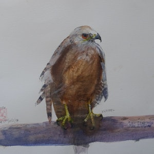 (CreativeWork) Kestrel Resting ref 2018 by Colin L. Williams. watercolour. Shop online at Bluethumb.