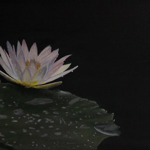 (CreativeWork) The Lily   by Dennis Heape. acrylic-painting. Shop online at Bluethumb.