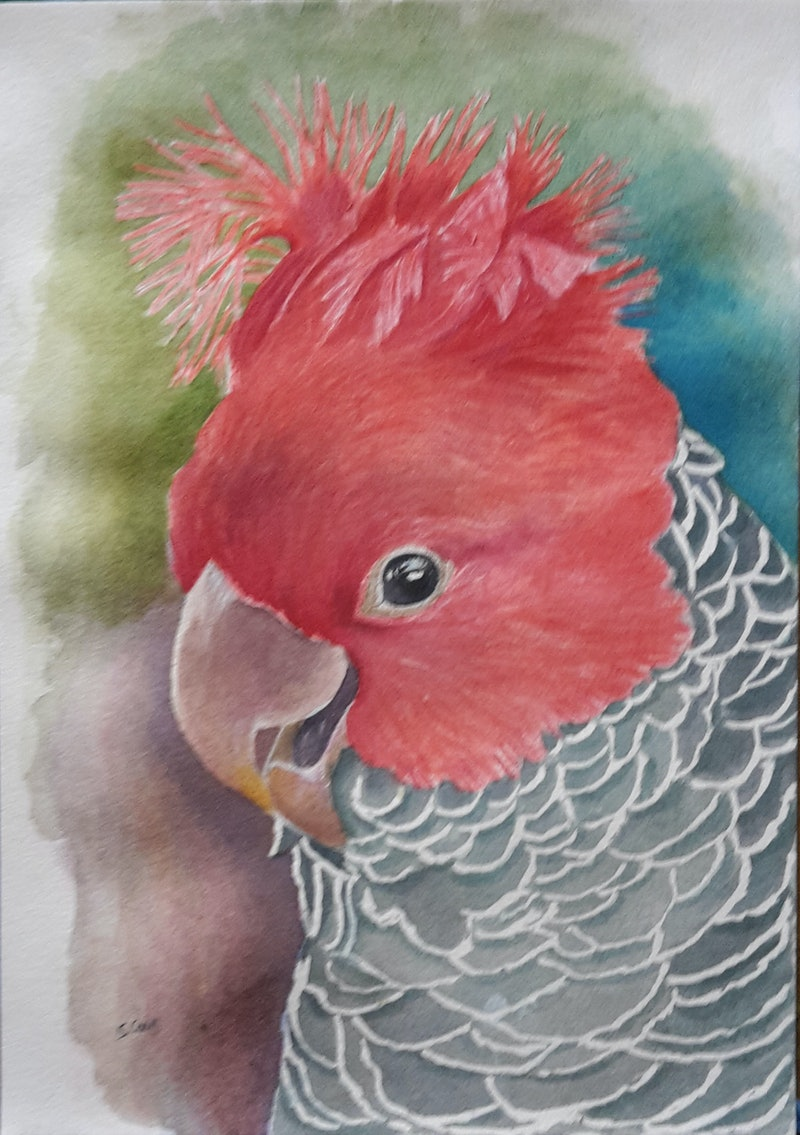 e82ebdb906a6 Shop online at (CreativeWork) Gang-gang cockatoo by Svetlana Cook.  watercolour. Shop online at