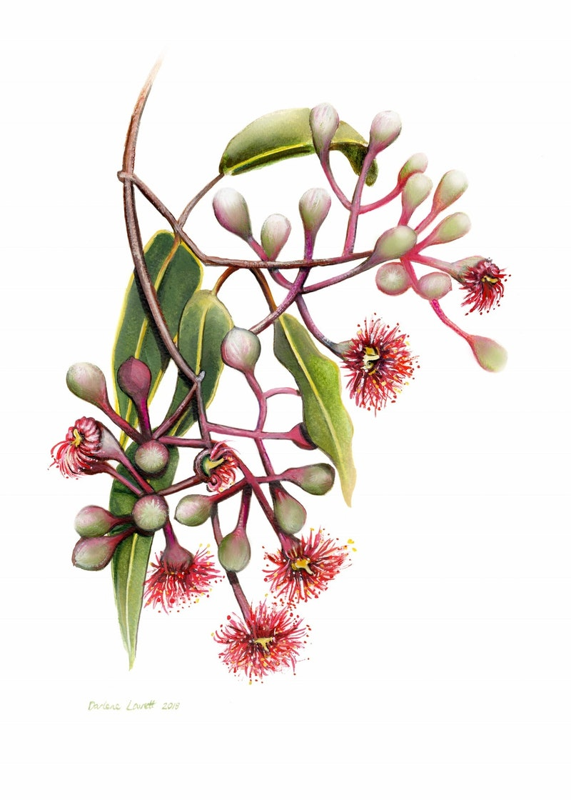 Red Flowering Gum Watercolour painting - Limited edition print ...