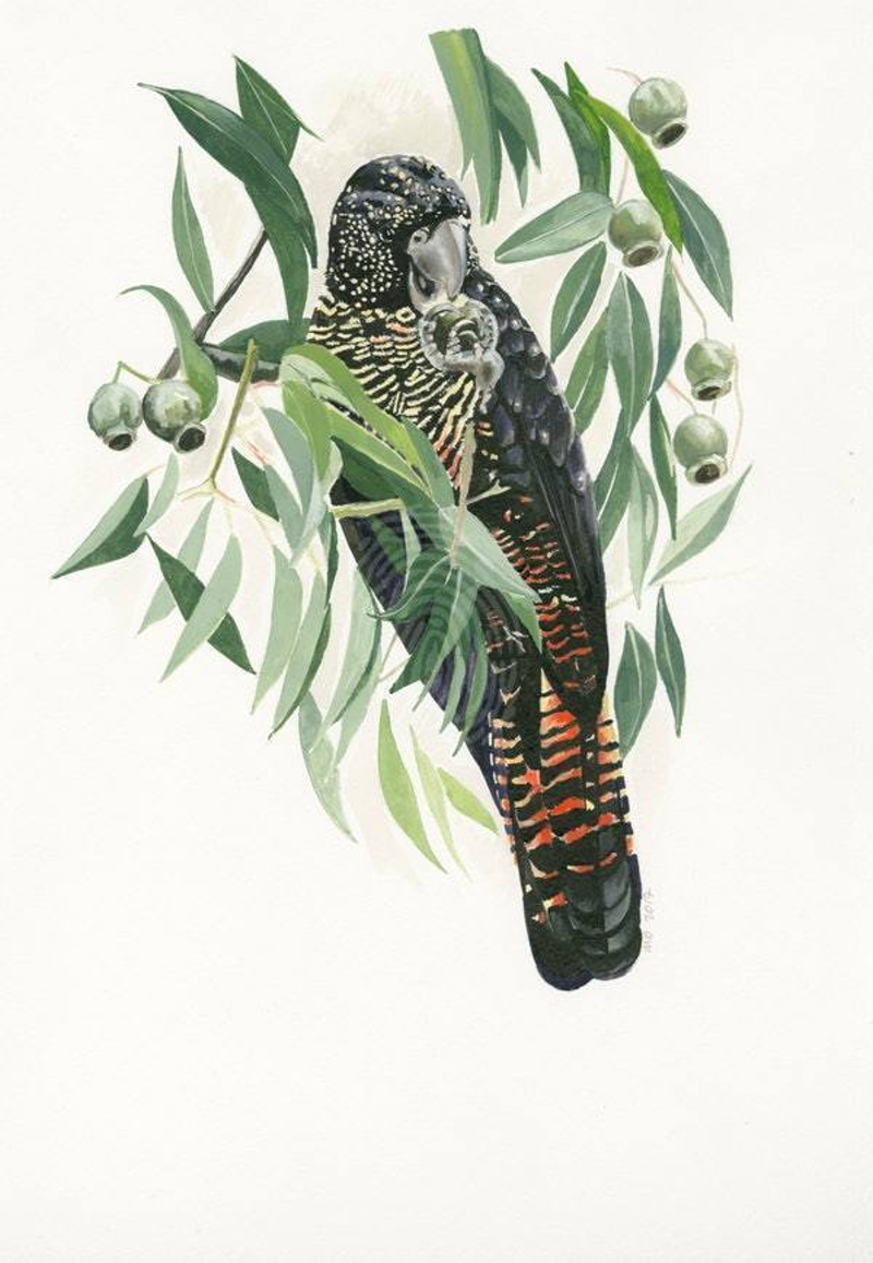 (CreativeWork) Red- Tailed Black Cockatoo 1 Ed. 2 of 10 by Michelle Dujmovic. print. Shop online at Bluethumb.