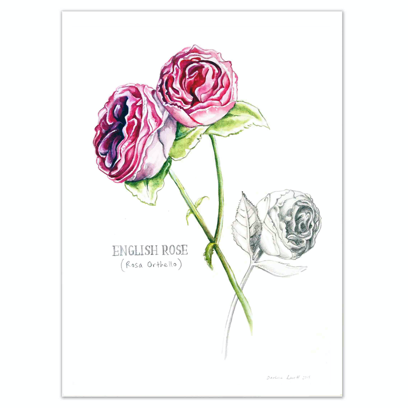 (CreativeWork) English  Rose - Limited edition print- Framed Ed. 13 of 100 by Darlene Lavett. print. Shop online at Bluethumb.