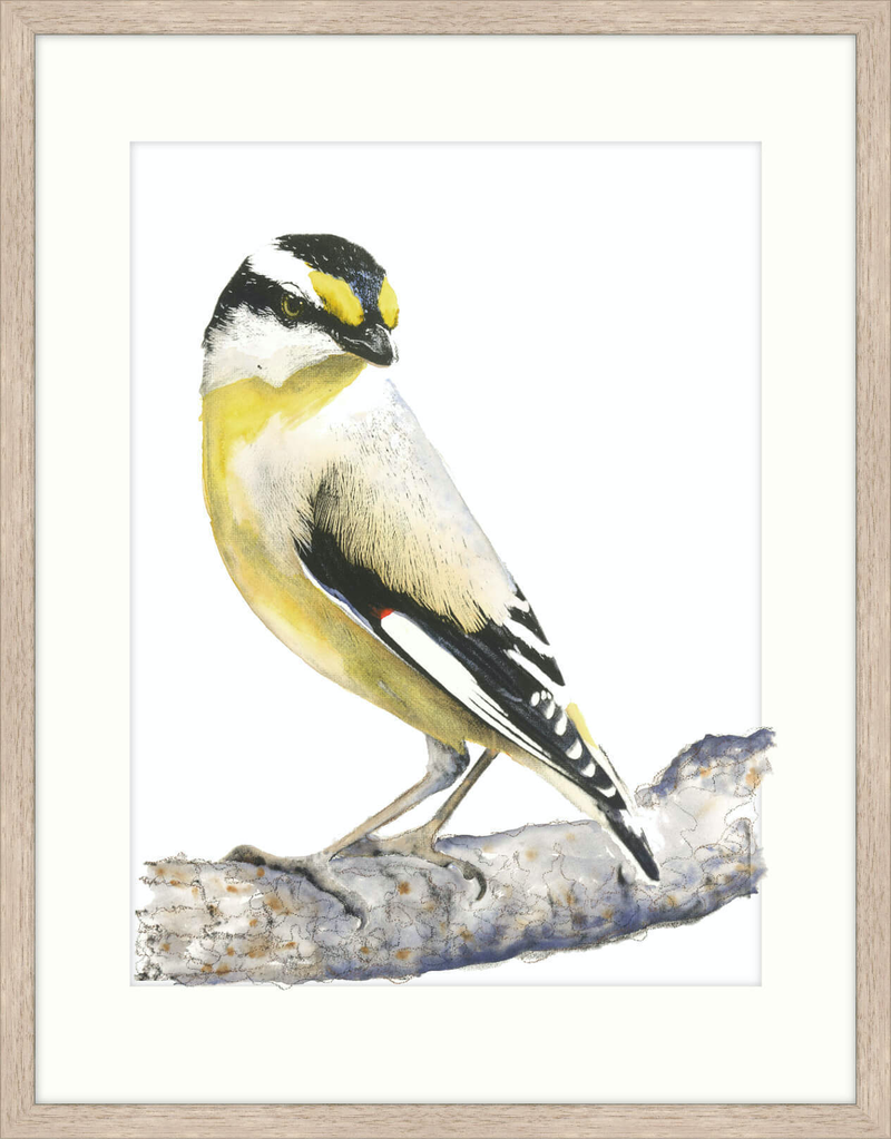 (CreativeWork) Large Striated Pardalote II FRAMED Ed. 4 of 20 by Liss Kamp. print. Shop online at Bluethumb.