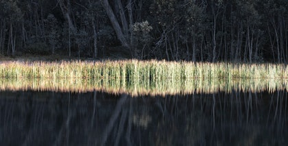 (CreativeWork) Sunlit  Reeds by Robert Armitage. photograph. Shop online at Bluethumb.