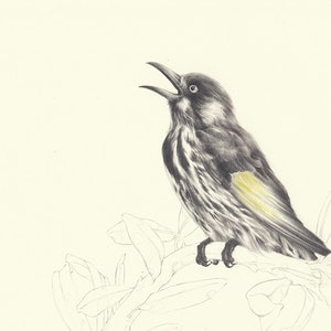 (CreativeWork) Study - New Holland Honeyeater  by Lamice Ali. drawing. Shop online at Bluethumb.