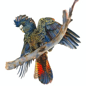 (CreativeWork) Large Red Tail Black Cockatoo Ed. 2 of 30 by Liss Kamp. print. Shop online at Bluethumb.