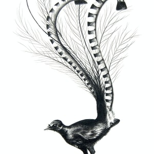 (CreativeWork) Lyre Bird by Jahne Meyer. drawing. Shop online at Bluethumb.