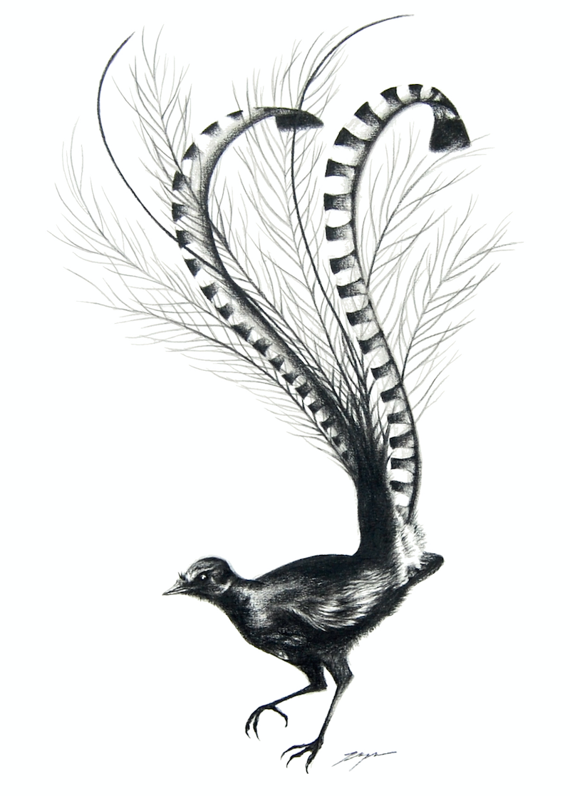 lyre bird by jahne meyer paintings for sale bluethumb online art