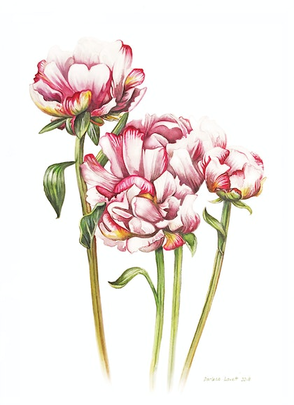 (CreativeWork) Pretty Peonies Watercolour painting - Large,  Limited edition print  Ed. 1 of 100 by Darlene Lavett. print. Shop online at Bluethumb.