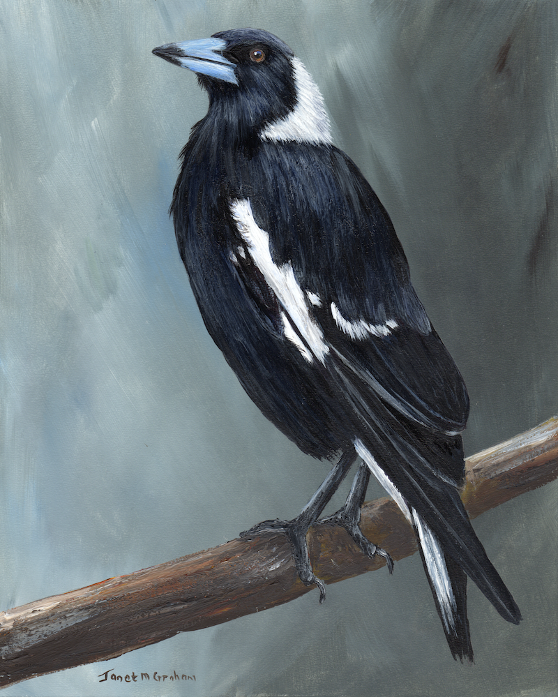 (CreativeWork) Australian Magpie by Janet Graham. #<Filter:0x00007fa566abcc88>. Shop online at Bluethumb.