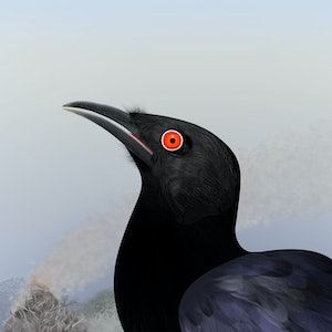 (CreativeWork) Chough Ed. 10 of 20 by Kim Lynch. print. Shop online at Bluethumb.