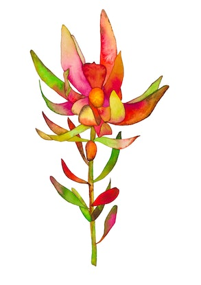 (CreativeWork) Rainbow Leucadendron  by Kirsty Anderson. Watercolour Paint. Shop online at Bluethumb.
