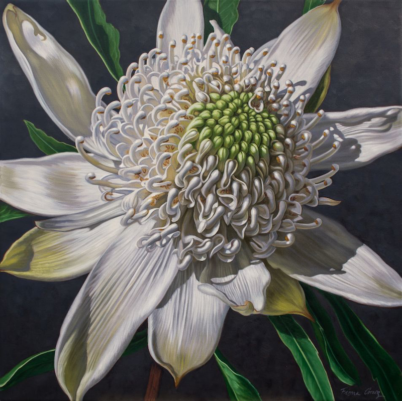 (CreativeWork) White Waratah on Indigo by Fiona Craig. oil-painting. Shop online at Bluethumb.