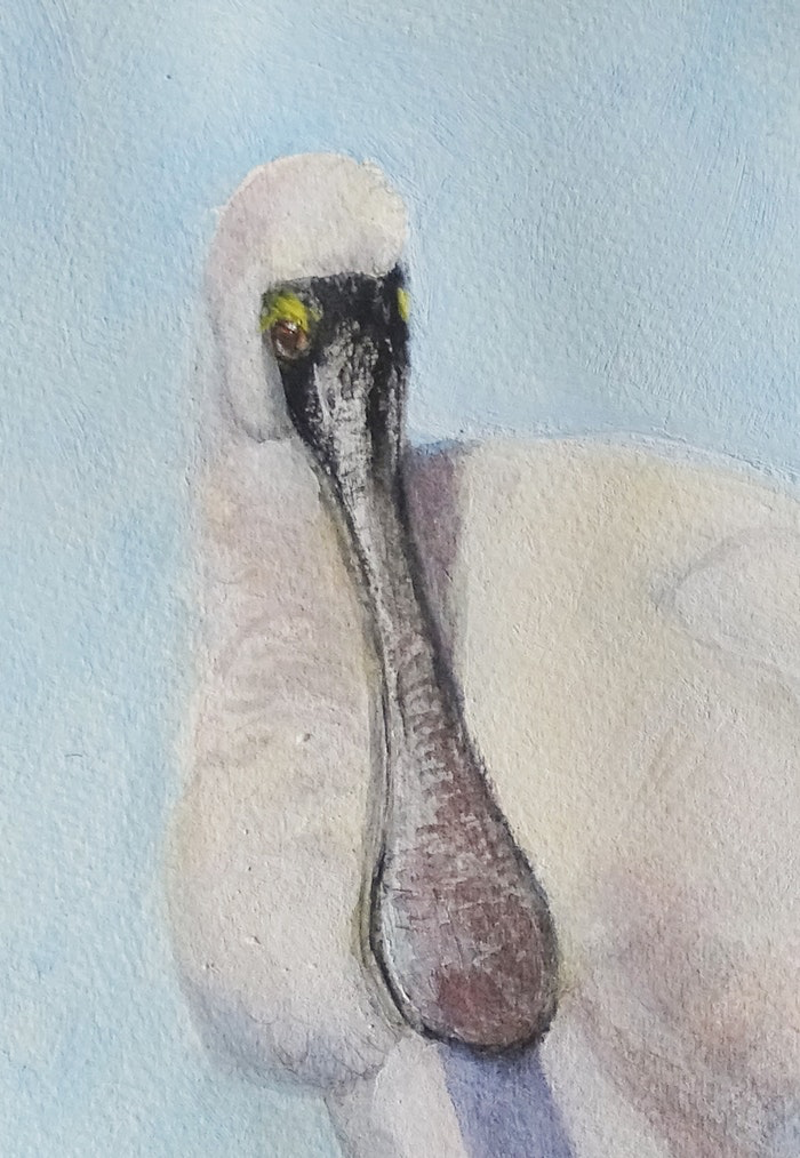 (CreativeWork) Royal Spoonbill (Ref. 5618) by Colin L. Williams. mixed-media. Shop online at Bluethumb.