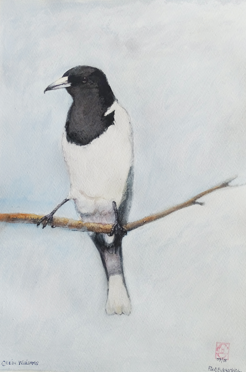 (CreativeWork) Pied Butcherbird (ref. 5718) by Colin L. Williams. mixed-media. Shop online at Bluethumb.