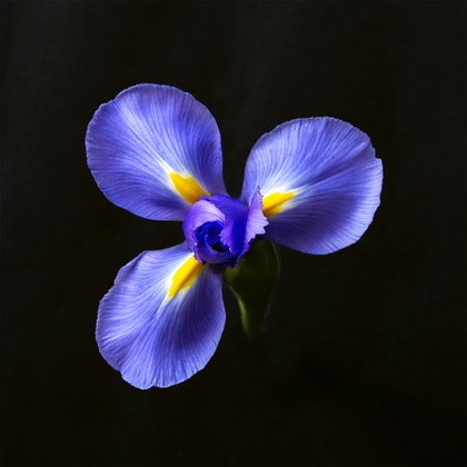 (CreativeWork) Iris by Jacalyn Mann. photograph. Shop online at Bluethumb.
