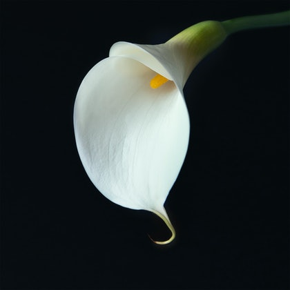 (CreativeWork) Lily by Jacalyn Mann. photograph. Shop online at Bluethumb.