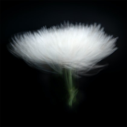 (CreativeWork) White Chrysanthemum  by Jacalyn Mann. photograph. Shop online at Bluethumb.