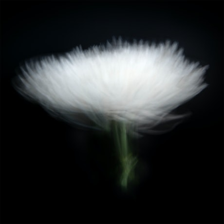 (CreativeWork) White Chrysanthemum  Ed. 1 of 20 by Jacalyn Mann. Photograph. Shop online at Bluethumb.