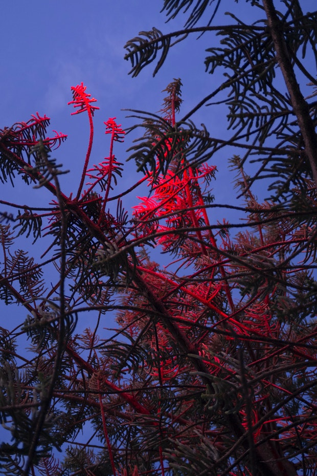 Tree Branches in Red