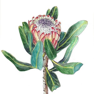 (CreativeWork) Protea & Fairy Wren on fennel Two Original ink drawing by Jing Tian. drawing. Shop online at Bluethumb.