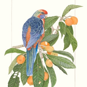 (CreativeWork) Loquat Raider by Lorraine Damm. watercolour. Shop online at Bluethumb.