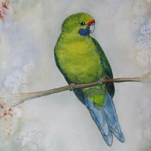 (CreativeWork) Green Rosella by Libby Simmons. watercolour. Shop online at Bluethumb.