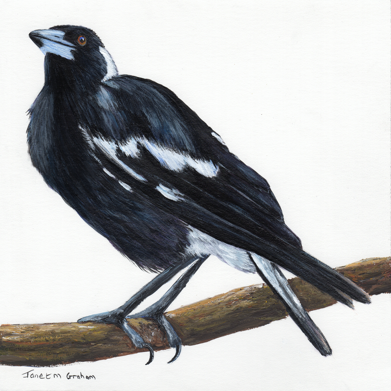 (CreativeWork) Australian Magpie by Janet Graham. Acrylic Paint. Shop online at Bluethumb.