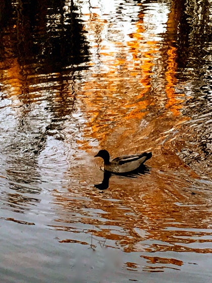 (CreativeWork) Flaming Duck by Tony Knight. photograph. Shop online at Bluethumb.