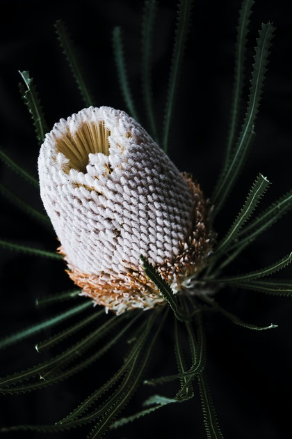 (CreativeWork) Banksia - Natives II by Elizabeth Hosking. photograph. Shop online at Bluethumb.