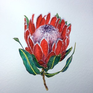 (CreativeWork) Protea Red by Jing Tian. watercolour. Shop online at Bluethumb.