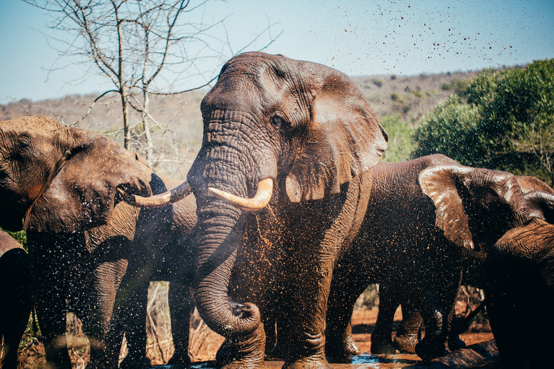 (CreativeWork) Elephants by Jordan Kirk. photograph. Shop online at Bluethumb.