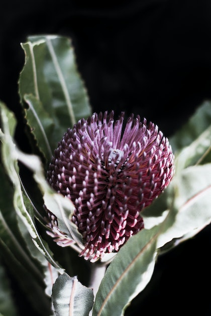 (CreativeWork) Banksia - Natives III by Elizabeth Hosking. photograph. Shop online at Bluethumb.