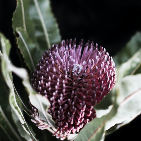 (CreativeWork) Banksia - Natives III Ed. 1 of 20 by Elizabeth Hosking. Photograph. Shop online at Bluethumb.