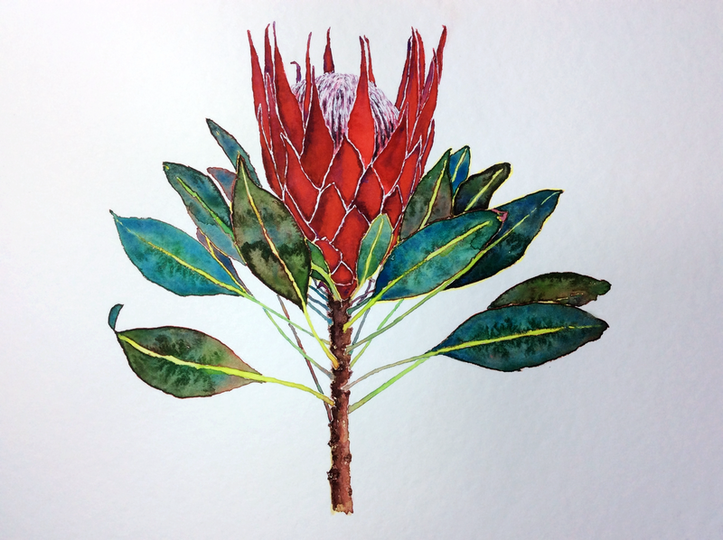 (CreativeWork) Red king protea by Jing Tian. watercolour. Shop online at Bluethumb.