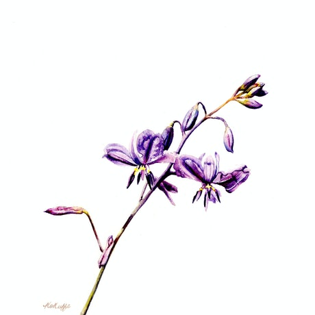 (CreativeWork) Anthropodium fibriatum, Chocolate Lily by Kristen O'Keeffe. Watercolour Paint. Shop online at Bluethumb.