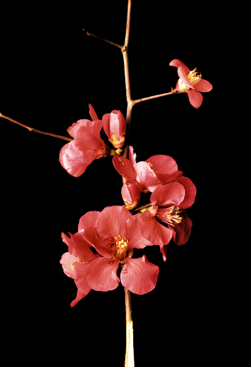 (CreativeWork) QUINCE BLOSSOMS by Nadia Culph. photograph. Shop online at Bluethumb.