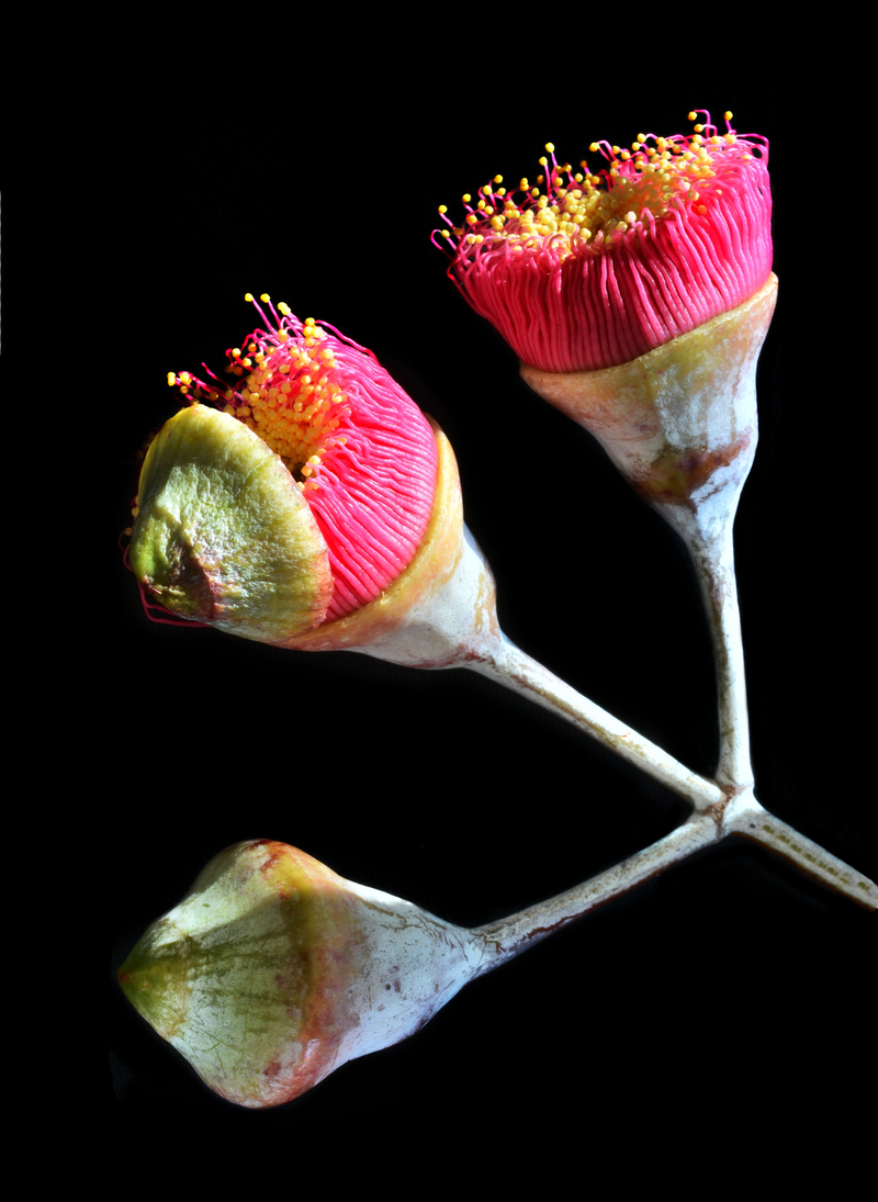 (CreativeWork) EUCALYPTUS BLOSSOMS  by Nadia Culph. photograph. Shop online at Bluethumb.