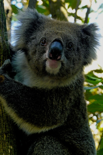 (CreativeWork) KOALA by Tony Knight. photograph. Shop online at Bluethumb.