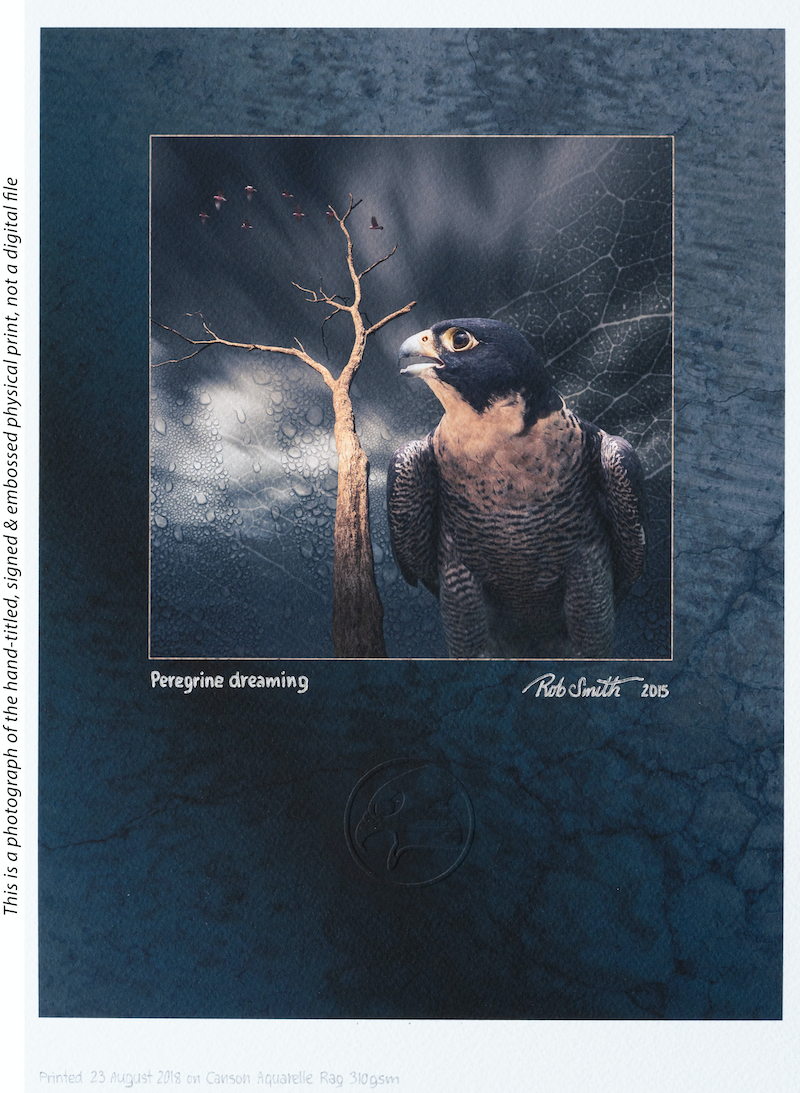 (CreativeWork) Peregrine dreaming by Rob Smith. photograph. Shop online at Bluethumb.